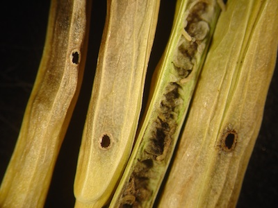 Look for cabbage seedpod weevils holes and larvae in canola pods. If you find them, remember to scout for adults next year. Photo credit: Saskatchewan Ministry of Agriculture