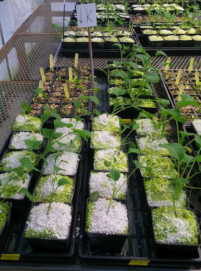 Canola plants getting ready for canoLAB at a greenhouse in Devon, Alberta.