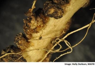 Hybridization nodules 2