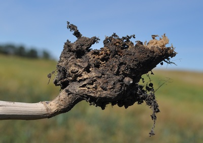 Decaying clubroot galls