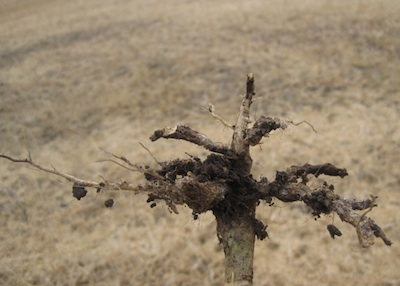 Example of clubroot galls found at harvest time.
