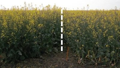These varieties were seeded into a field known to have higher levels of clubroot. The variety on the left is resistant, the variety on the right is not.