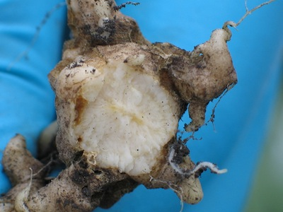 Clubroot gall cross section.