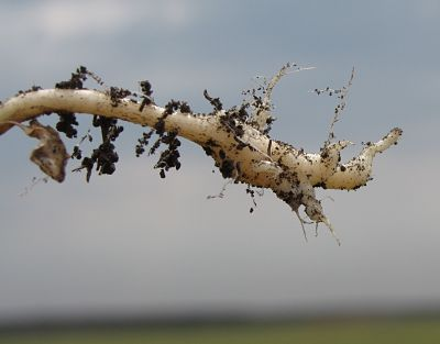 Canola with small developing clubroot galls. Source: Stephen Strelkov