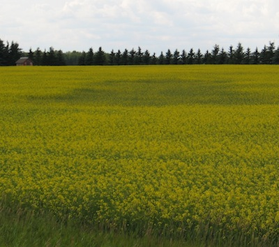 Look out for clubroot patches in 2014 — even if the field is seeded to a resistant variety.