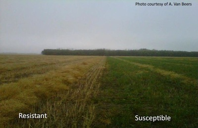 This is a clubroot infested field, with a resistant variety grown on the left and a susceptible variety grown on the right. Source: Aaron Van Beers