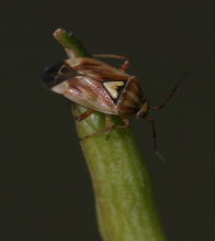Lygus bug adult on a pod.