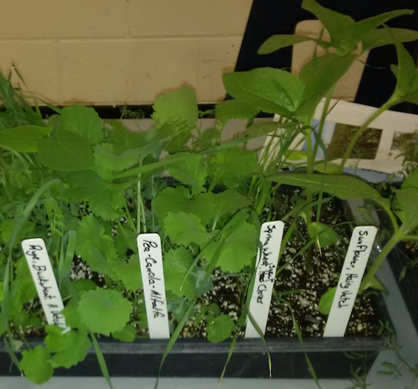 Here are a few examples of cover crop combinations.