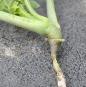 Cutworm Prosofsky