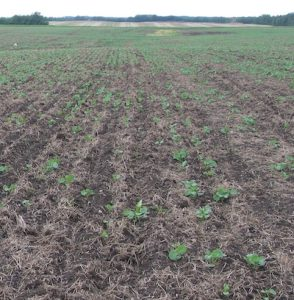 Cutworm feeding can take out seedlings before they emerge.