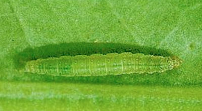 Diamondback moth larvae. Notice the spindle shape — wider in the middle than at the ends. Source: Saskatchewan Ministry of Agriculture.