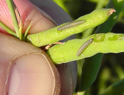 Diamondback moth larvae feeding on pods.