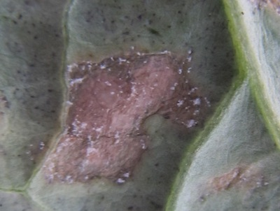 Powdery mildew lesion, up close. Source: Holly Derksen, MAFRD