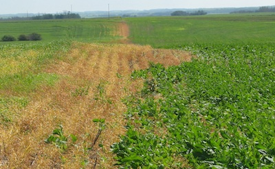 Spray drift from a canola field can be deadly to neighbouring crops.