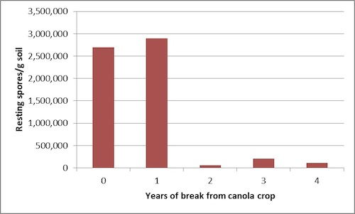 Figure 2. Concentration of P. brassicae resting spores in varying canola rotations in Normandin, Quebec from 2009 to 2013. Source: Gary Peng, AAFC