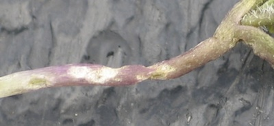 This is what flea beetle feeding on the stem looks like.