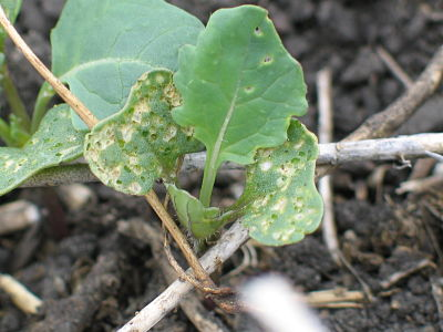 Cotyledons may show signficant damage, but if the first leaves are in good shape, the flea beetle threat has subsided and a spray isn't needed.