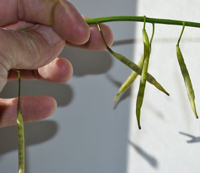 Pods turning translucent is a sign of heavy frost damage.