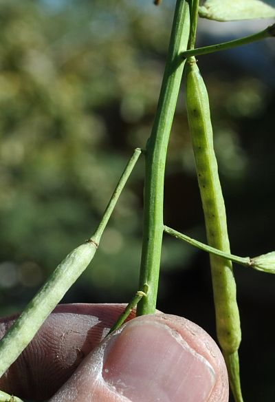 Within a day after the frost, pedicels — the small stems attaching pods to stems — are drying out and snapping. These pods will start dropping, which is another reason to swath right away.