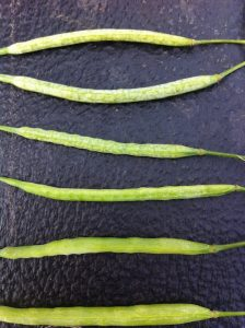 Top pods after a moderate frost. Notice one is starting to split.
