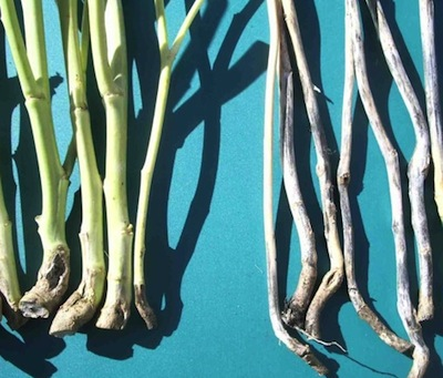 Grey stem on the right. Blackeg on the left. Source: Randy Kutcher