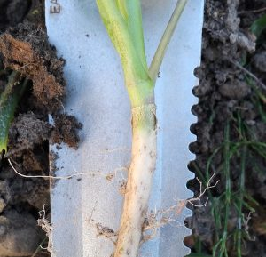 Here is a healthy crown and root. This is what you want to find. Photo credit: Keith Gabert