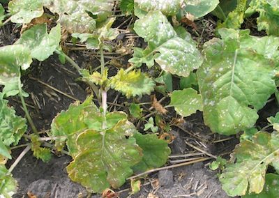 Herbicide drift injury on canola. Drift can be costly on your own farm and especially awkward and costly if it carries to a neighbouring farm.
