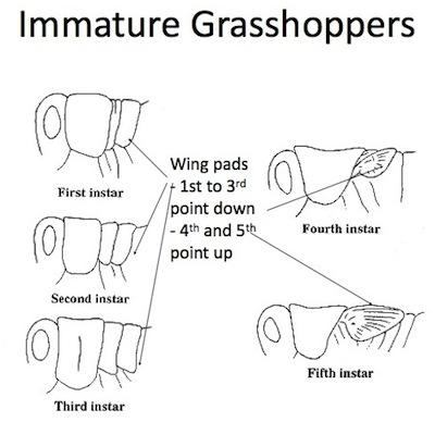 How to ID grasshopper instars.