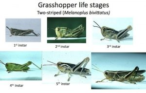 Immature Grasshoppers Hartley small