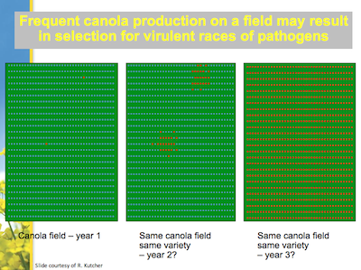 Continuing with the same resistant variety on the same field increases the risk of selecting for and building up new virulent pathotypes. Source: Randy Kutcher