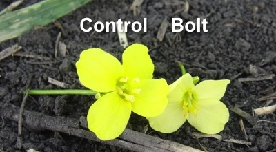 This photo shows how glyphosate applied late (at bolting) to Roundup Ready canola can affect the flowers, and ultimately yield. Source: Chris Willenborg