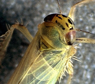 The aster leafhopper (species Macrosteles quadrilineatus) has 4 distinct black lines on its head. You can see these lines with a magnifying glass.