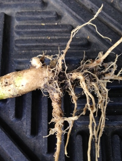Small clubroot gall found in Manitoba in 2013.