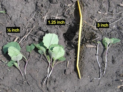 Shallow seeding is a key step in canola stand establishment. Deep seed, as shown on the right, produces a low-vigor seedling — if they emerge at all.