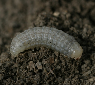 Pale western cutworm