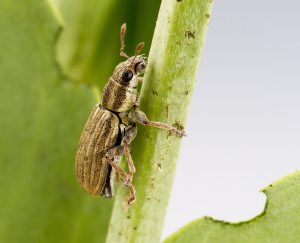 Pea leaf weevil. Credit: S.J.Barkley, Alberta Agriculture and Forestry