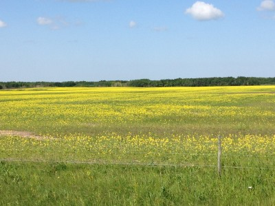 Poor looking typical canola field 2014