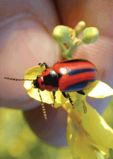 Red turnip beetle