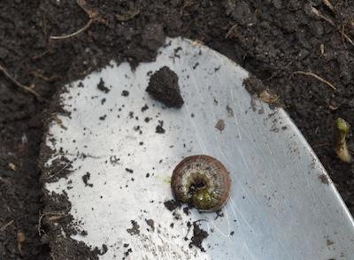 Redbacked cutworm.