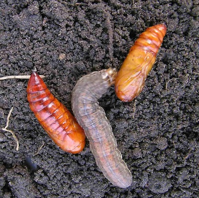 Redbacked cutworm with pupae. If you see a lot of pupae, it may signal the end is near for the cutworm threat.