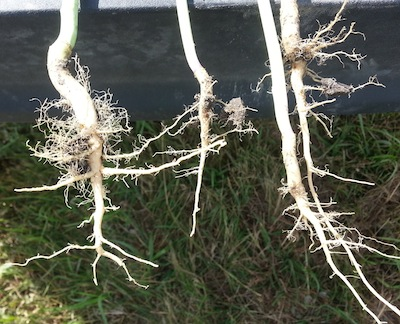 High nitrogen roots on left. Recommended rates of nitrogen on the right.