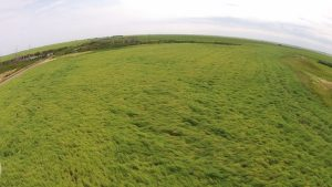 When ground-truthing this image taken with the CCC drone, agronomist found about 10-15% of plants infected with sclerotinia stem rot. Photo credit: Amanda Wuchner
