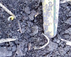 Sickly seedling Brackenreed small