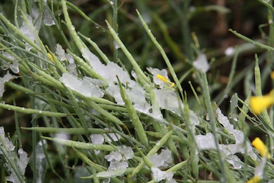Snow in central Alberta, September 9. Credit: Rick Taillieu