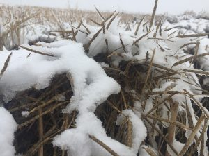 Snow on canola swaths in Saskatchewan. October 5, 2016. Credit: Ian Epp