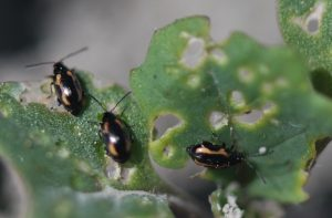 Striped flea beetles. Credit: Denis Pageau, AAFC