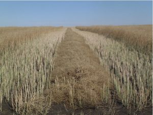 Take a full swath down the middle of each strip, then weigh the yield individually for each strip.