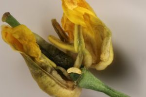 Swede midge larva in canola flower bud. Credit: Tyler Wist