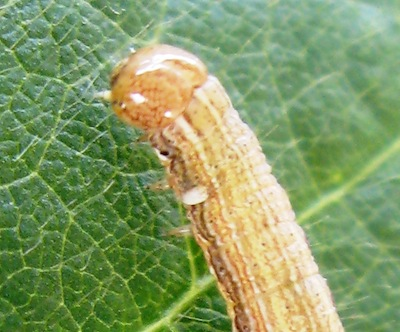 "This armyworm (not bertha armyworm) has an egg from a Tachinid fly near the head. Tachinid flies as a group include many valuable parasitoids, including ""Athrycia cineria,"" a parasitoid of bertha armyworm. Source: John Gavloski, MAFRD"