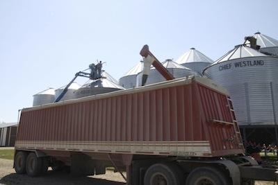 Turning canola in one of the test bins.